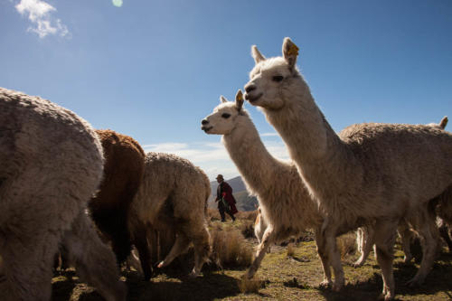 The alpaca and the llamas are related and can easily be confused. Both were domesticated by the indigenous population of the Andes.